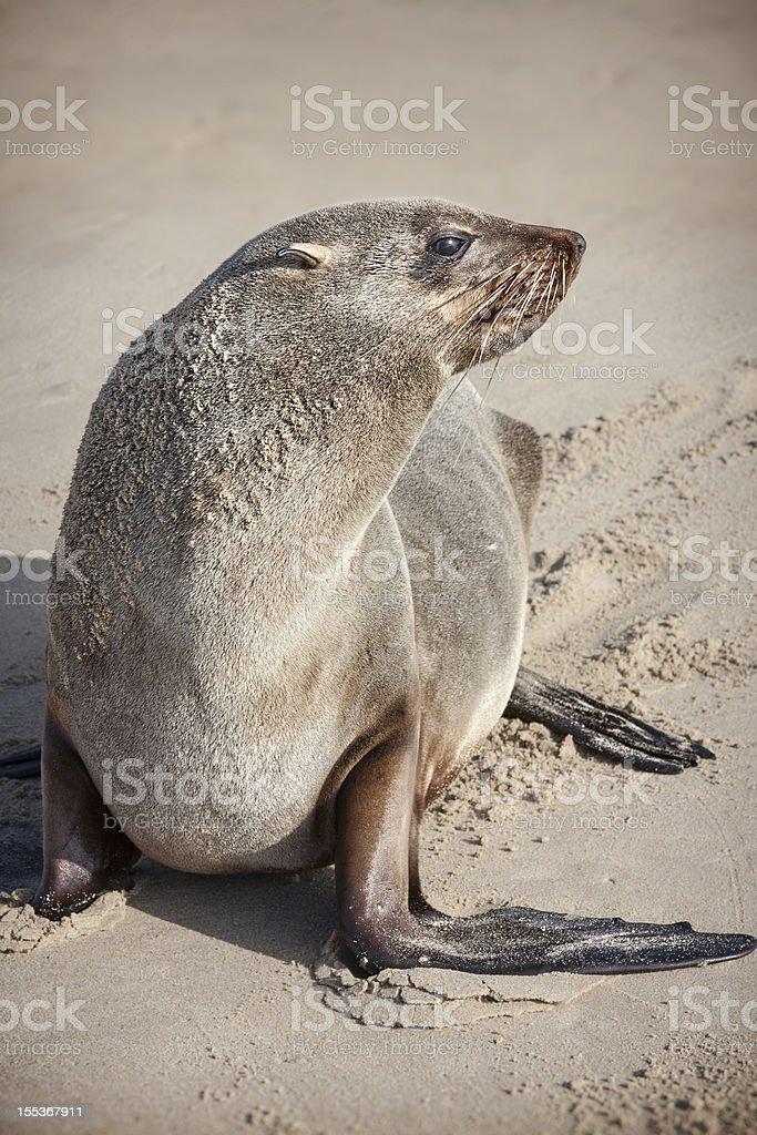 fur seal royalty-free stock photo