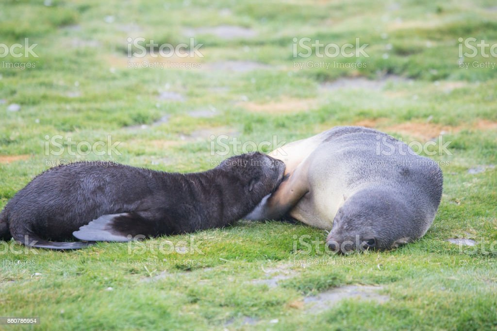 A fur seal pup weening and its mother. stock photo