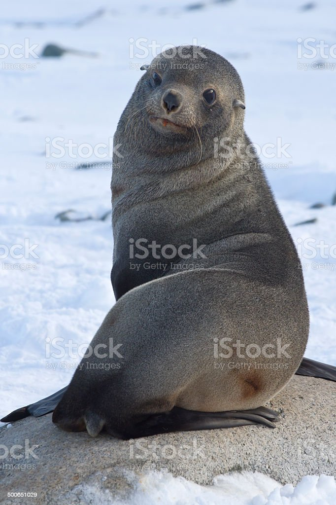 fur seal sitting on a rock on the beach Antarctic Islands stock photo