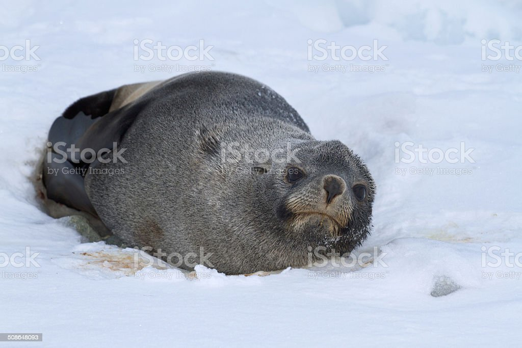 fur seal which lies on the ice of the Antarctic beach stock photo