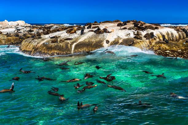 Robben auf Duiker Island – Foto