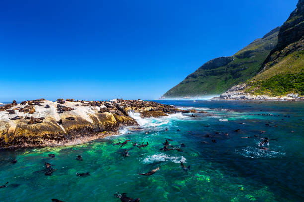 fur seals on duiker island - cape peninsula stock pictures, royalty-free photos & images
