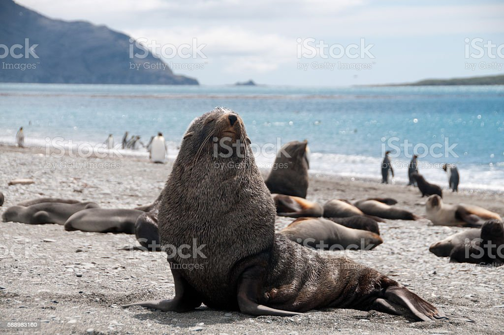 Fur Seals on South Georgia's Salisbury Plains stock photo