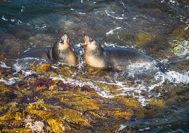 Fur Seals stock photo