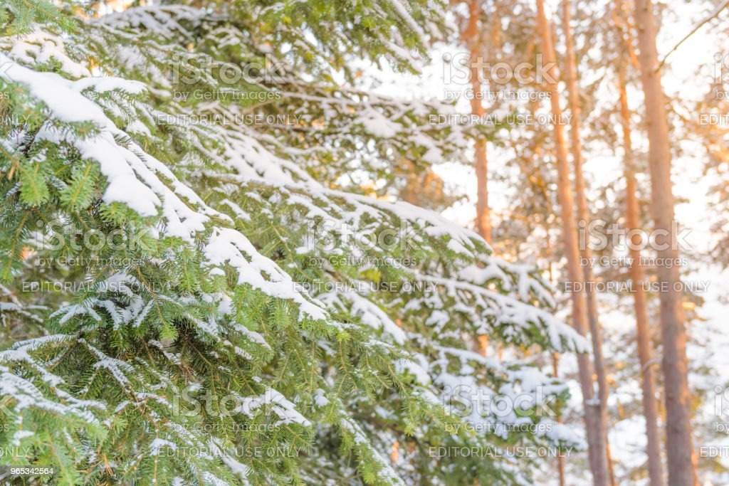 Fur tree branch covered with heavy snow royalty-free stock photo
