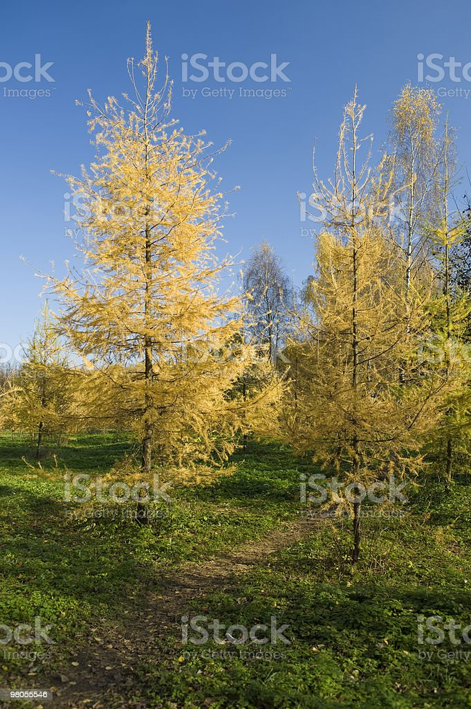 Foresta di alberi di pelliccia foto stock royalty-free