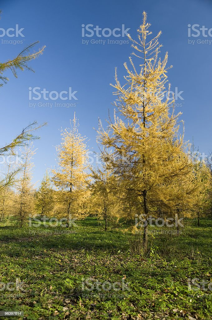 Fur trees royalty-free stock photo