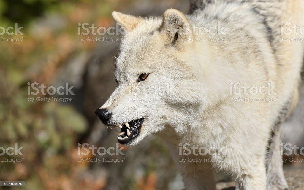 furious arctic wolf stock photo