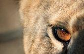 Closeup of lioness eye.
