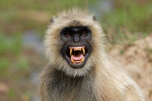 Furious Langur Langur was not haapy with our presence in forest & was giving furious look. langur stock pictures, royalty-free photos & images