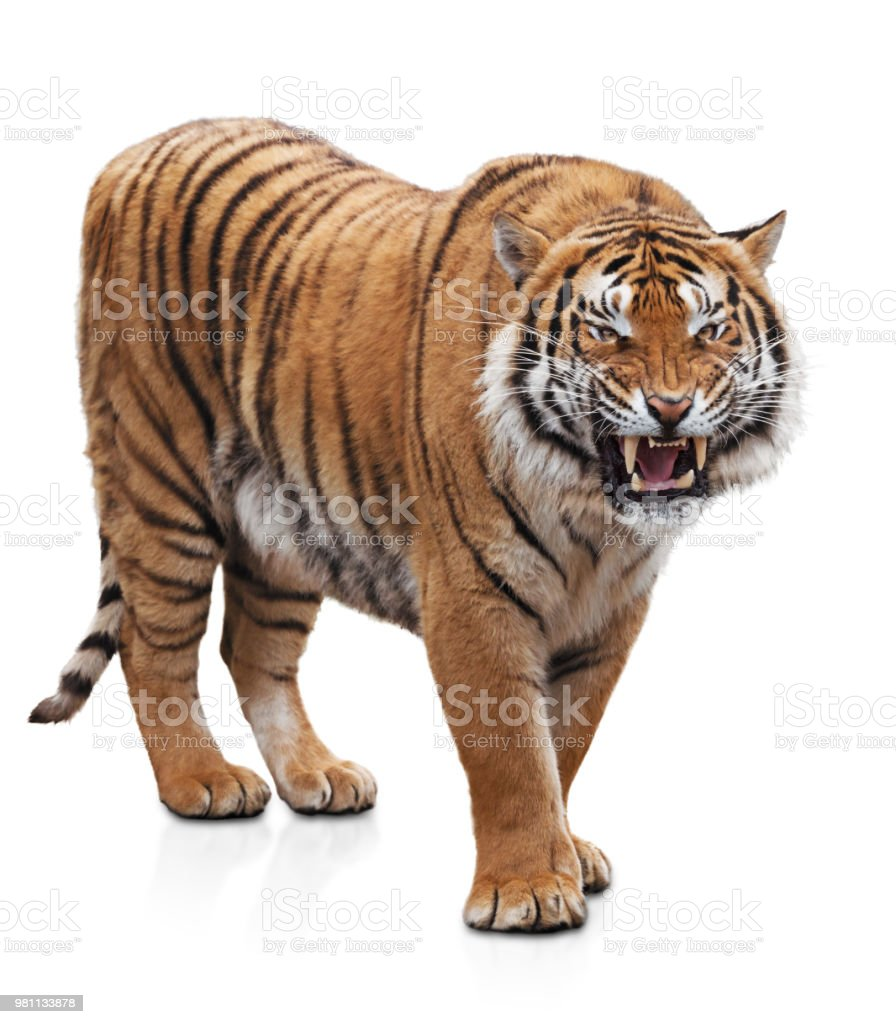 Furious tiger stock photo
