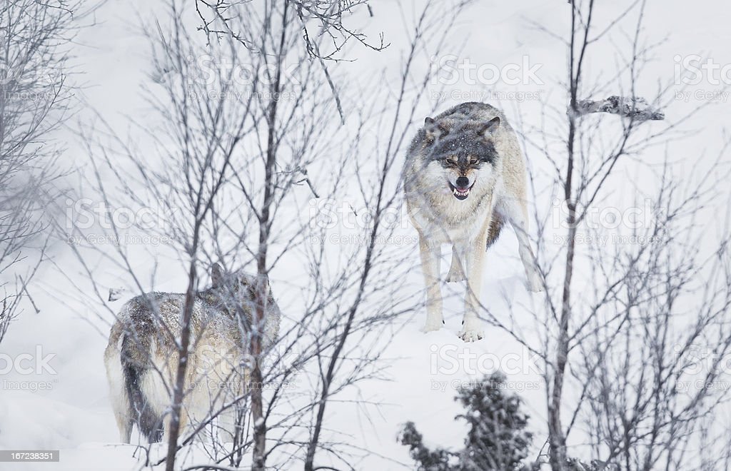Furious Wolf in winter landscape stock photo