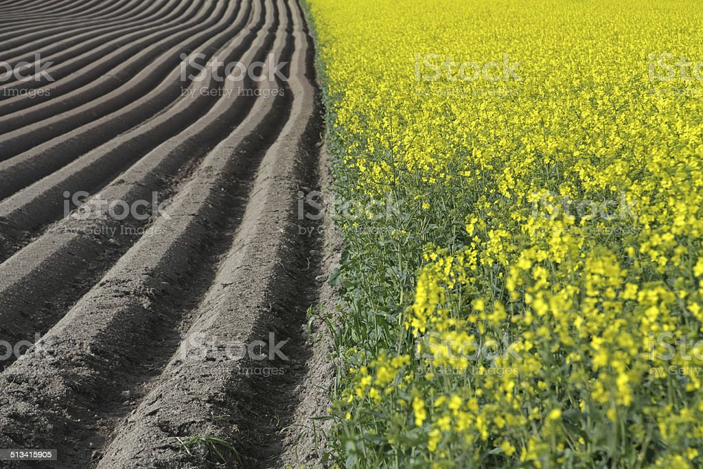 Furrows for carrot cultivation stock photo