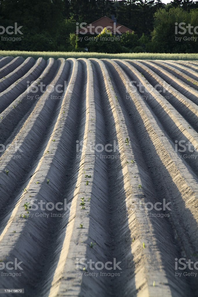 Furrows of a potato field stock photo