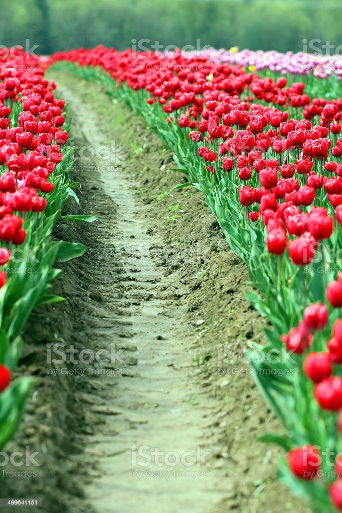 Furrows Through the Flower royalty-free stock photo