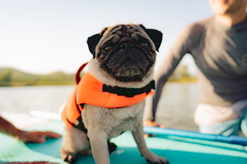 Photo of a cute pug wearing an orange life jacket on a stand-up paddleboard.