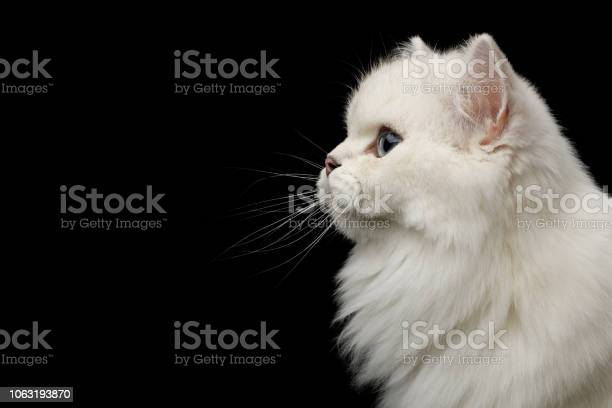 Furry british breed cat white color on isolated black background picture id1063193870?b=1&k=6&m=1063193870&s=612x612&h=ie7owsyocckf mirwuhtcmr0mcpizw5fxije kxghkm=