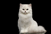Furry British breed Cat white color on Isolated Black Background