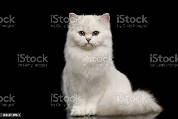 Furry british breed cat white color on isolated black background picture id1063193874?b=1&k=6&m=1063193874&s=612x612&h=o2hecni93sgqddhzgllp5vw9sk8btkfhi1d52bmom78=