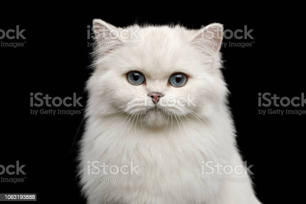 Furry british breed cat white color on isolated black background picture id1063193888?b=1&k=6&m=1063193888&s=612x612&h=27 7n8b9zgq9lbxn hqilvfyr1foa3ste7tlighyq28=