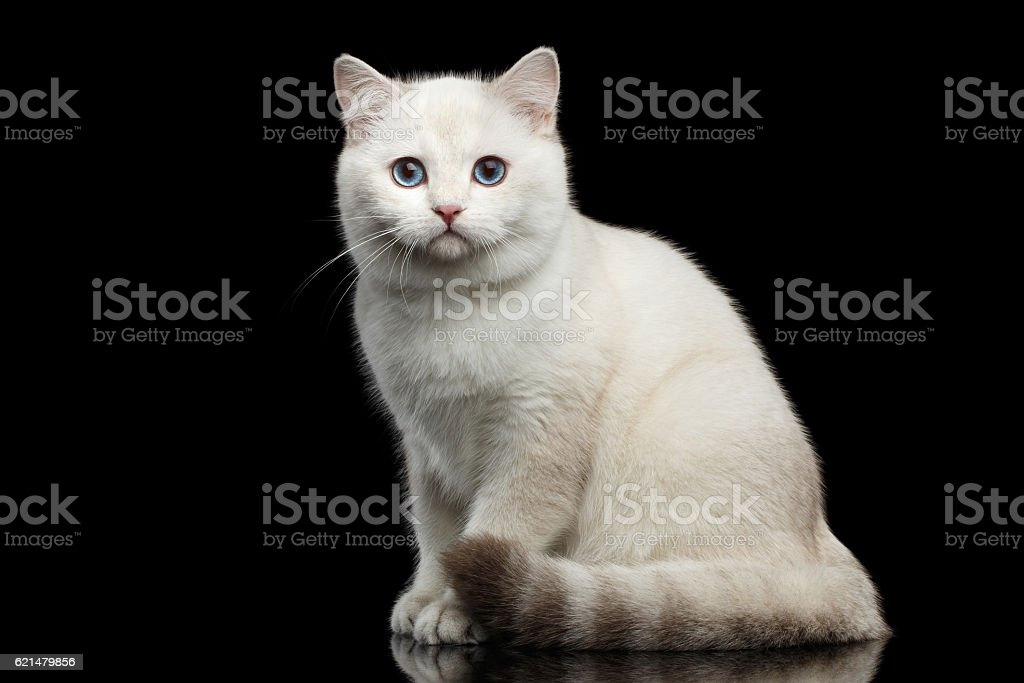 Furry British breed Cat white color on Isolated Black Background - foto de acervo