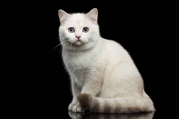 Furry British breed Cat white color on Isolated Black Background stock photo