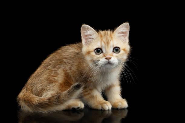 Furry british breed kitten on isolated black background picture id667396538?b=1&k=6&m=667396538&s=612x612&w=0&h=ebo kncxhzu1kg5awd wyr96zkuqlu aa3oilmwvs6g=