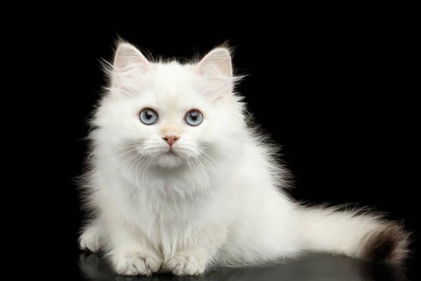 Furry british breed kitten white color on isolated black background picture id667396134?b=1&k=6&m=667396134&s=612x612&w=0&h=hkrzef8 ankvvqo9x8rhcnnnk8awy0qimbxcgivwzaq=