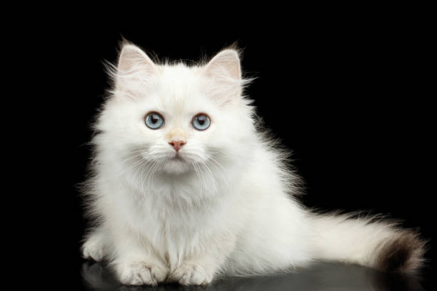 Furry British breed Kitten white color on Isolated Black Background stock photo