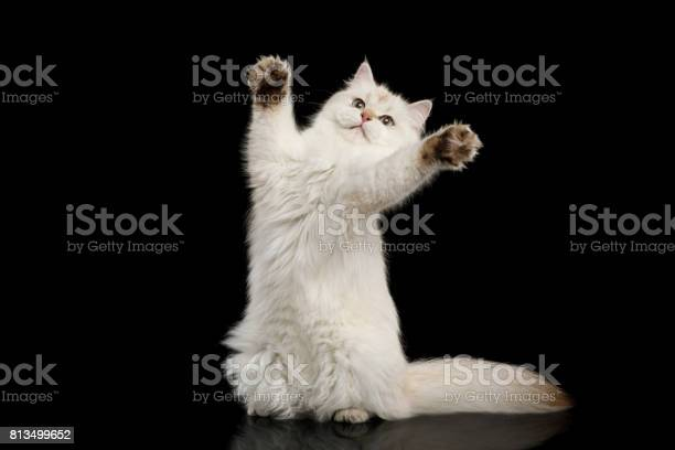 Furry british cat white color on isolated black background picture id813499652?b=1&k=6&m=813499652&s=612x612&h=dkoby5o8phthwy9izvol4okbd5asnv9la4herx 2zsm=