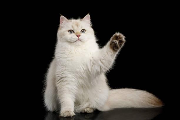Furry british cat white color on isolated black background picture id813499684?b=1&k=6&m=813499684&s=612x612&w=0&h=1va56tyussvqlse6xmos37jwjye nrbqg9bqcropb5g=