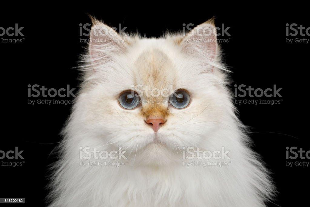 Cor de British gato branco peludo na isolada fundo preto foto royalty-free