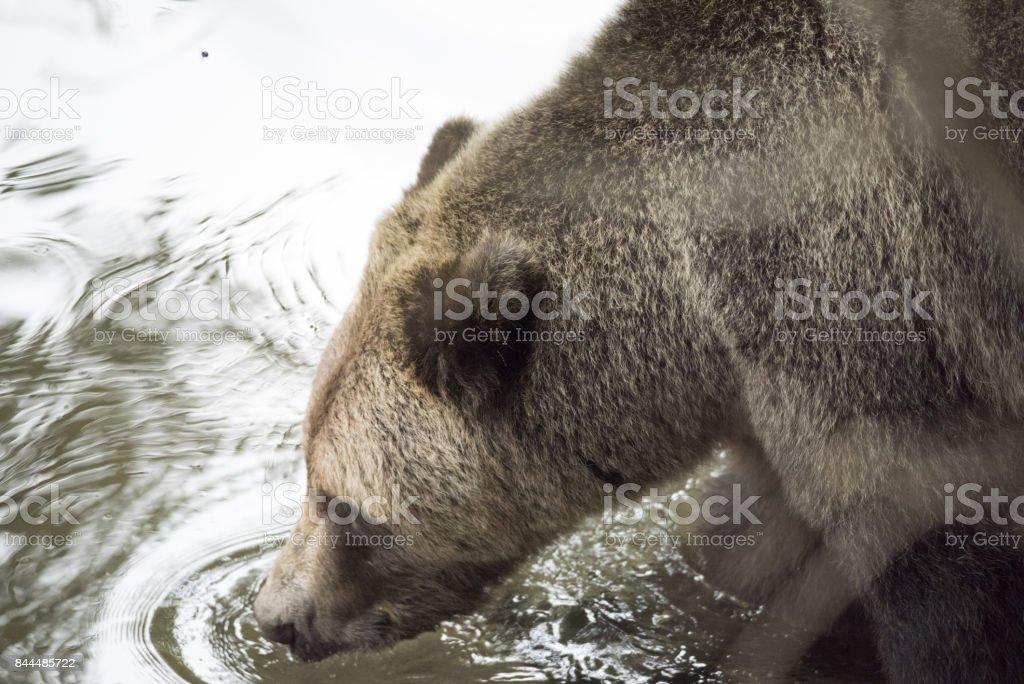 Furry Brown Bear close-up stock photo