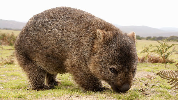 a furry brown wombat grazing in a field - wombat stock photos and pictures