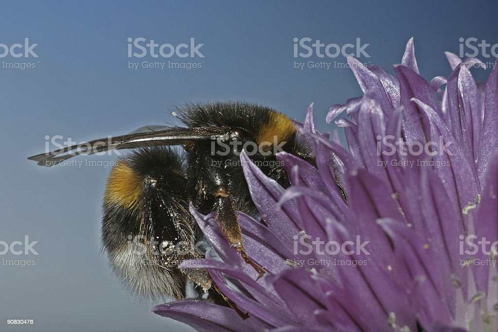 Furry bumblebee digging in stock photo
