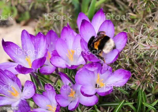 Photo of Furry bumblebee pollinates a purple crocus flowers.