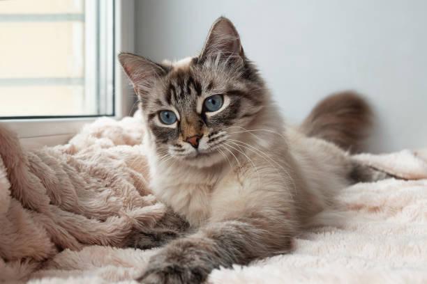 Furry cat of seal lynx point color with blue eyes is playing on a picture id973909944?b=1&k=6&m=973909944&s=612x612&w=0&h=ue g mm3cvbzqhlkxvkrblkzjko k5j1tyvuyycm1j8=