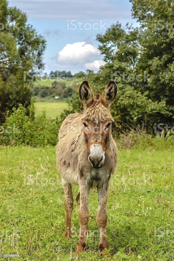 Furry Donkey royalty-free stock photo