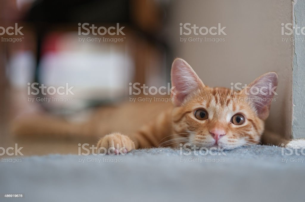 Furry face of an orange Tabby. stock photo