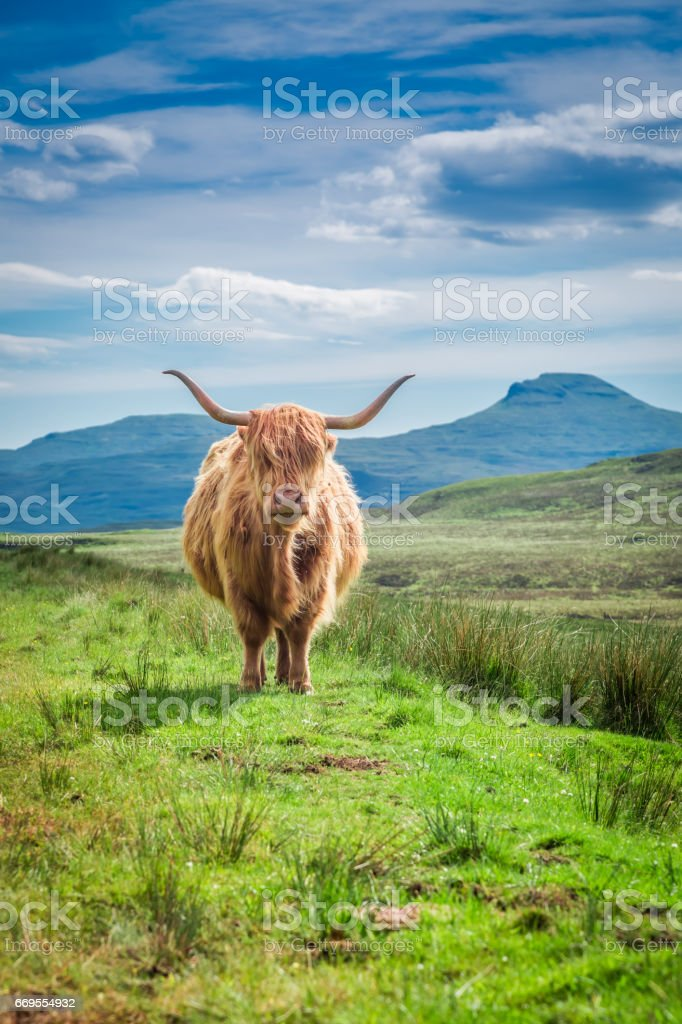 Fourrure vache highland à Isle of Skye en Ecosse - Photo