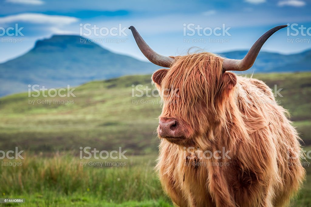 Furry highland cow in Isle of Skye, Scotland stock photo