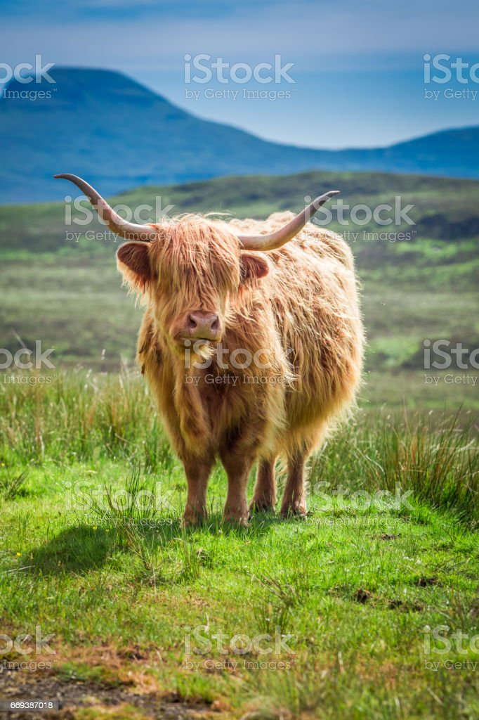 Furry highland cow in Scotland in UK - Photo