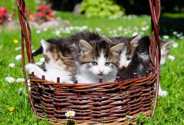 Furry kittens picture id697399118?b=1&k=6&m=697399118&s=612x612&w=0&h=p40y1m4id3augwbnv0qst5urqgbo9phdj5fc5jjekpk=