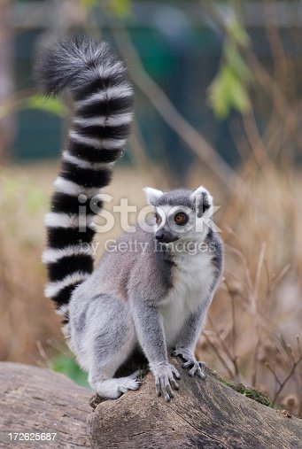 a ring-tailed lemur (Lemur catta) sitting on a trunk.