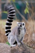 a ring-tailed lemur (Lemur catta) sitting on a trunk.