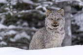 A Lynx Kitten poses for the camera, as seen in winter in the Canadian Rockies.