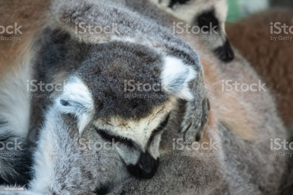 Furry Mass Of Ring Tailed Lemurs Huddling On A Cool Early