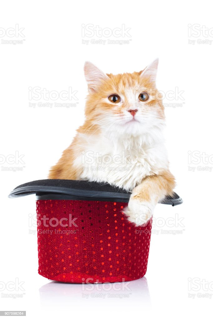 furry orange cat sits in a red hat stock photo