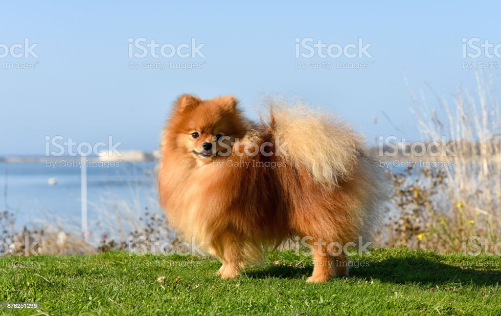 Furry red-haired dog on a bright sunny day against the background of the sea stands on green grass. stock photo