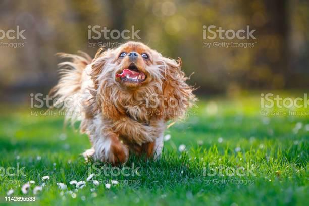 Furry ruby cavalier king charles spaniel running outside picture id1142895533?b=1&k=6&m=1142895533&s=612x612&h=1rfp8zyfdgpvq5vpzohbeiolxxra5r3ttlwk71acpiw=